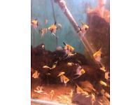 Juvenile koi Angel fish