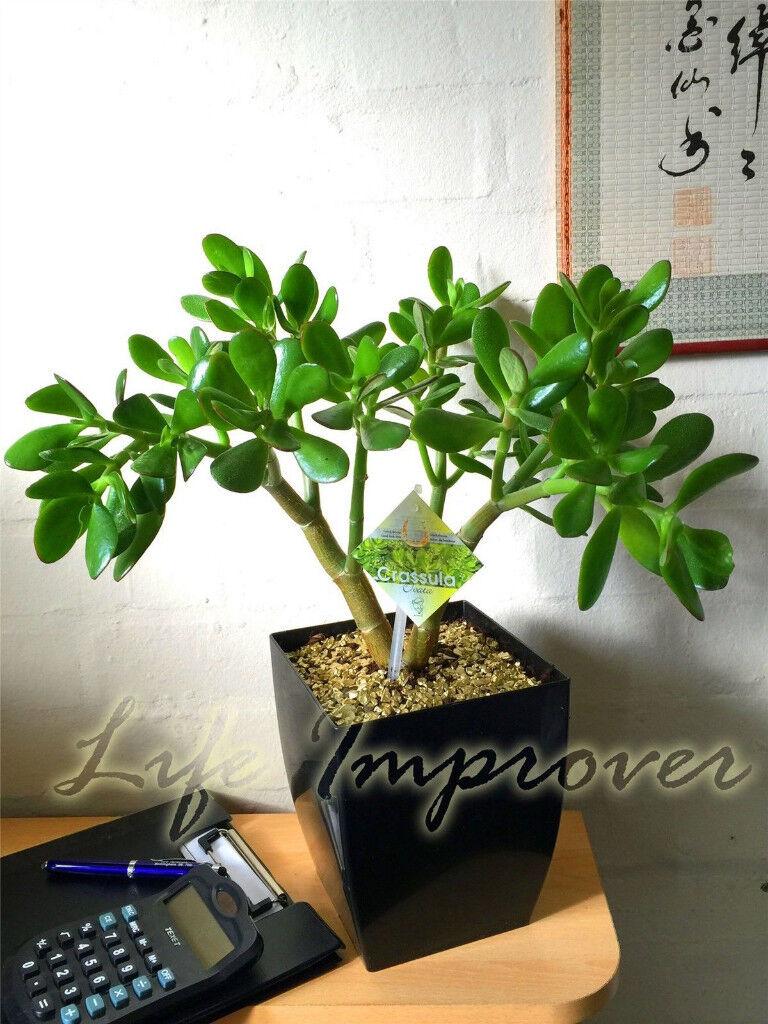 Jade Money Plant Friendship tree Crassula Indoor Bonsai Gold Gravel in Gloss Pot Home Office Decor