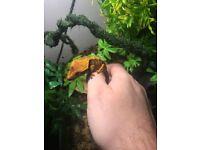 Juvenile crested geckos for sale