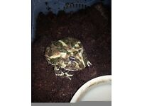Pacman frog with set up for sale