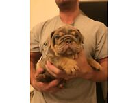 Beautiful & Wrinkly, Fully Suited Male Bulldog Pup