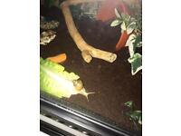 "2 African land snails ""white Jade"""