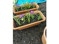 Beautiful flowering bulbs st2 area troffs 7.50 pots 5 pound