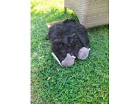 Toy Poodle pups puppies
