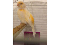 Handsome Gold and White Canary for sale with Cage, Food and all accessories - makes amazing pet