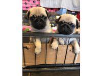Pug Puppies KC REG