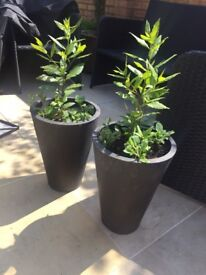 2 black pots with Bays and Petunia plants. Collect Fulham