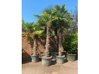 Trachycarpus Fortunei Palm Trees - 13ft height approx