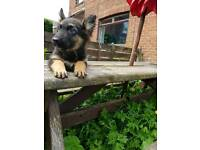 BLACK AND TAN German shepherd Girl