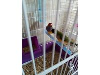 2 Gouldian Finches,1 canary,1 Red rump parakeet for sale.