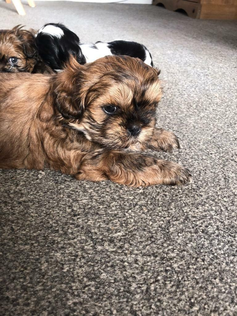 Shih Tzu puppies for sale  | in Plymouth, Devon | Gumtree