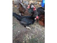 Poultry for sale. Barnevelder, Cuckoo Maran and Black Leghorn.
