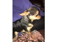 beautiful chihuahua for sale