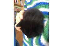 Black and white kittens £50 each