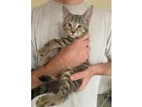 Gorgeous Maine Coon X kittens READY NOW!