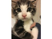 Beautiful tabby and white kitten. READY NOW. Fully flea and worn treated. 8wks old.