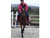 Help wanted with young horse 5 Yr old tb no financial contribution required 15.3hh Bay mare