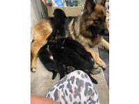 ***German Shepherd Pups***only 3 left