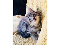 Beautiful loving Kittens