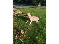 Good looking lurcher x greyhound boy ready now for sale
