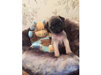 Playful Pug Puppies