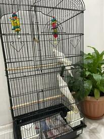 Pair of Albino cockatiels with large cage