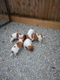 Jack russel puppy's for sale