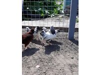 Young chicken chicks (growers)