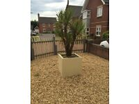 Free large palm tree in pot