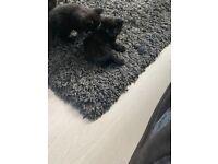 3 Fluffy Black Kittens left for sale