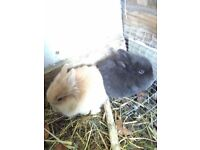 Baby bunnys for sale