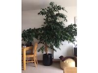 Amazing, healthy, large ficus plant for big room in house, hallway, office or hotel