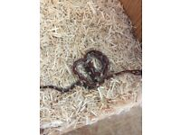 Baby corn snakes for sale with snake tank