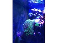 Coral frags for sale Xenia/Green star polyps/Kenya tree
