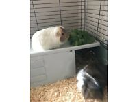 2 male guinea pigs with indoor cage and outdoor hutch with run