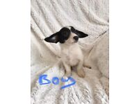 Poodle X Chihuahua Boy Ready Now