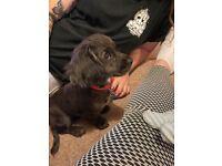 Gorgeous Merle Cocker Spaniel Puppy