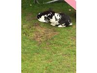 Two male neutered rabbits