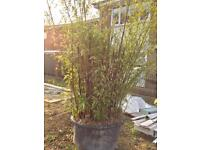 Huge Bamboo Plant in Pot