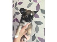 3 Chihuahua Boys for Sale