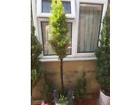 Cypruss tree