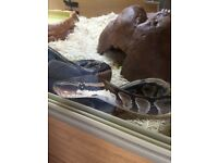 Royal (Ball) Python with Setup