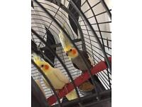 Cockatiels for sale , all sorts of variations! All Talk!