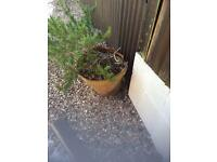 Potted rosemary herb. WILL DELIVER