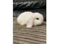 SOLD!! Mini Lop doe (9 weeks)