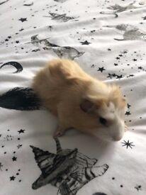 baby guinea pigs £5 erach