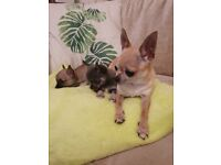Dogs for sale in East Sussex - Gumtree