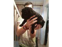 Minature poodle puppies