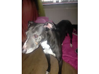 Female Lurcher free to good home