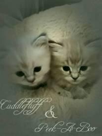 ¾ Ragdoll x ¼ Persian kittens for sale
